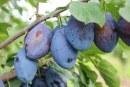 Pestkowe – mniej odmian, lepsza jakość
