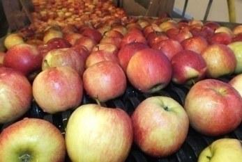 Koniec przyjmowania powiadomień o wycofaniu jabłek z rynku