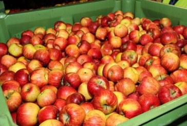 Organizacje producentów mają do wycofania 7720 ton jabłek