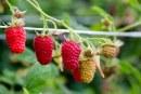 Nawożenie roślin jagodowych. Konferencja ICL