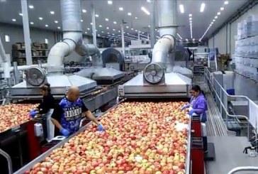 Sortowanie jabłek w USA. Jak wygląda nowoczesna instalacja?
