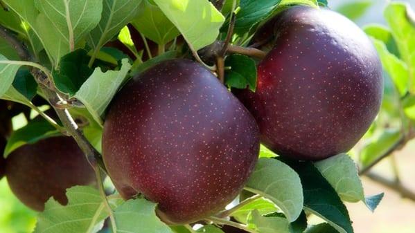 """""""Czarne jabłko"""" z Australii"""