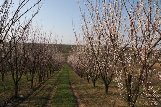 Mechaniczne przerzedzanie kwiatów. Czy to się opłaca w sadach drzew pestkowych?