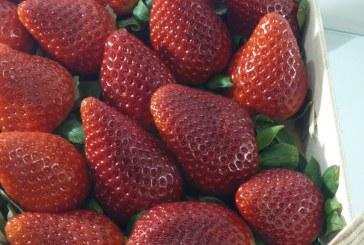 Rezygnują z truskawek, sadzą maliny, borówki i jeżyny