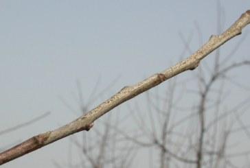 Mączniak jabłoni – zagrożenie w nadchodzącym sezonie