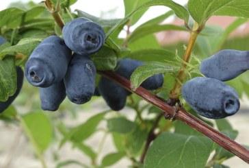 O jagodowych na Ukrainie