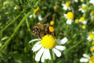 Polacy wiedzą o pszczołach… niewiele