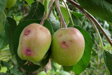 Ochrona sadów po gradobiciu