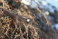 Fot. 2a. System korzeniowy przerastający otoczkę nawozu Basacote® Plus 6M
