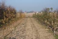 Fot. 3. Kombinacja kontrolna (rząd z lewej) i drzewka po zastosowaniu nawozu Basacote® Plus 6M w czasie sadzenia (z prawej) – jesień 2015 r.