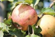 C. Objawy parcha jabłoni oraz na jabłkach
