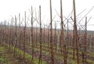 FOT. 2. Drzewka po posadzeniu są mocowane do konstrukcji wspierających opartych na słupach ze strunobetonu lub z drewna