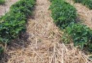 FOT. 1. Odmiany truskawek wymagają różnego podejścia do nawożenia