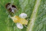 FOT. 5. Miodówka gruszowa plamista: larwa ostatniego stadium rozwoju