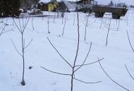 FOT. 3b. Sposób przycięcia drzewek po posadzeniu - po