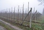 FOT. 4. Jabłoń musi mieć silny przewodnik oraz luźno ułożone pędy