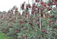 FOT. 8. Na prawidłowo prowadzonych drzewach owoce są równomiernie rozłożone i wysokiej jakości