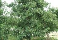 FOT. 9. Zbytnie zagęszczenie korony sprawia, że owoce w jej wnętrzu są niewybarwione