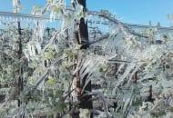 FOT. 1. Drzewa pokryte lodem podczas ochrony antyprzymrozkowej