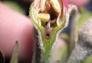 FOT. 3b. Uszkodzenia słupka kwiatu królewskiego