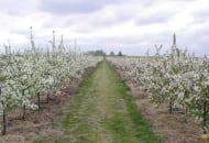 FOT. 1. Gęsto posadzony 4-letni sad wiśniowy w Sadzie Doświadczalnym w Dąbrowicach, przeznaczony do zbioru kombajnem