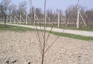 FOT. 2a. Drzewko wiśni przed cięciem