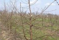 FOT. 5. Wiśnia po cięciu odnawiającym i prześwietlającym z widocznymi czopami po wycięciu najstarszych pędów