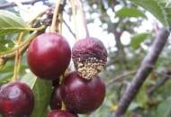 FOT. 1a. Brunatna zgnilizna owoców na wiśni