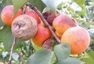 FOT. 1b. Brunatna zgnilizna owoców na moreli