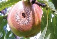 FOT. 1c. Brunatna zgnilizna owoców na brzoskwini