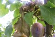 FOT. 1d. Brunatna zgnilizna owoców na śliwie