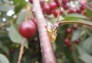 FOT. 2. Objaw gumowania na pędzie wiśni