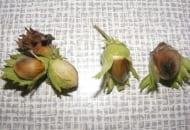 FOT. 5. Monilioza na orzechach leszczyny