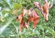 FOT. 7c. Rak bakteryjny na pędach jabłoni