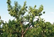 FOt. 1. Objawy chorobowe kędzierzawości liści brzoskwini w wierzchołkowej partii drzewa na początku czerwca