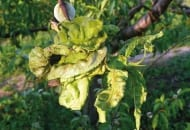 FOt. 2. Liczne pofałdowania blaszki liściowej na skutek rozrastania się grzybni w przestrzeniach międzykomórkowych ich tkanki miękiszowej