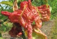 FOt. 3. Jasnozielone liście szybko przebarwiają się na żółto, a następnie na karminowo