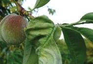 FOt. 4. Szary, matowy nalot na porażonym grzybem Taphrina deformans liściu brzoskwini