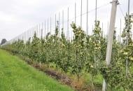Fot. 5. Kwatera gruszy w sadzie doświadczalnym w Skowronkach