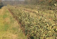 Fot. 1b. Słaby wzrost drzewek odmiany 'Szampion'/'M.26' w pierwszym roku po posadzeniu