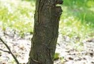 Fot. 4. Nacinanie pni jest jednym ze sposobów na ograniczenie wzrostu drzew w sadzie
