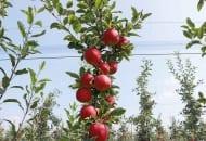 Fot. 11. Owoce odmiany Gala Vill®