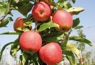Fot. 1. Royal Gala®: pomarańczowoczerwony rumieniec charakterystyczny dla 'Gali'; mocna marka; duża podatność na regresję; konieczny kilkukrotny zbiór owoców
