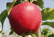 Fot. 9. 'Simmons' Buckeye Gala®: obecnie najczęściej sadzony sport w Południowej Europie; nawet spod siatek przeciwgradowych owoce można zbierać jednofazowo