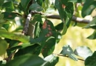 Fot. 7. Objawy nekrotycznej plamistości liści
