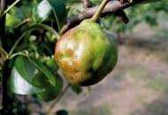 1-2012-zasady-zasilania-drzew-owocowych-5.jpg