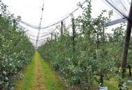 Fot. 3. Doświadczenie dotyczące ograniczenia siły wzrostu drzew odmiany 'Braeburn'