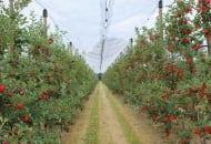 Fot. 4. W  2012 r. jedną z najlepiej plonujących odmian w wilanowskim sadzie była 'Gala'