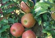 Fot. 13. Honeycrisp®