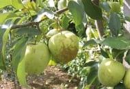 FOT. 10a. Ordzawienia owoców w sezonie 2013